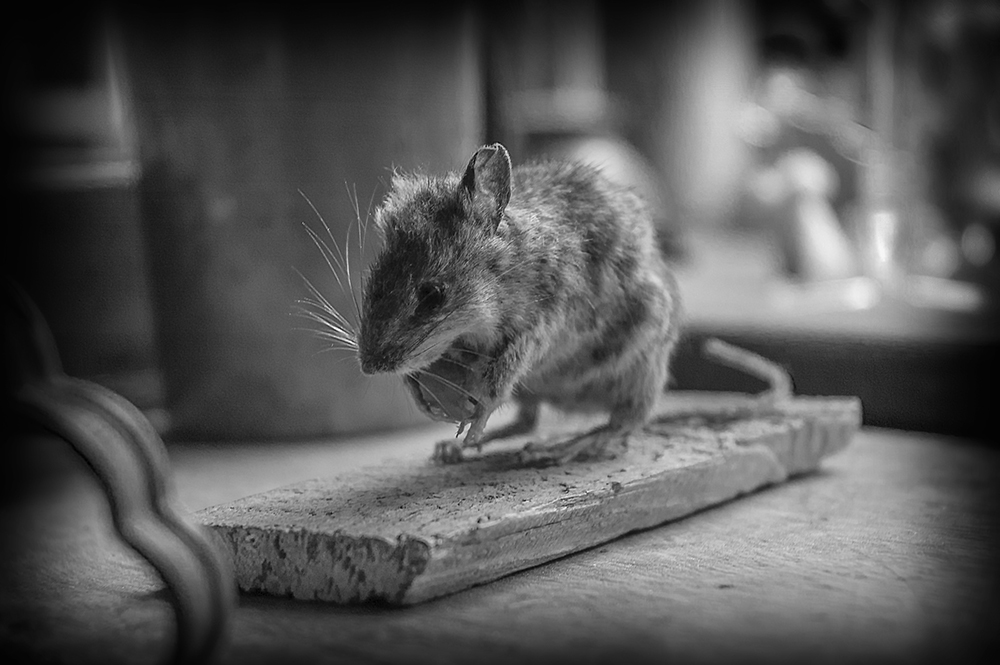 national trust taxidermy mouse